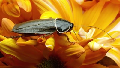 Tight shot of a simandoa cave roach on a yellow flower.