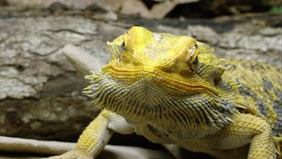 Tight shot of a Yellow Bearded Dragon lizard.