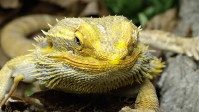 Tight shot of a Yellow Bearded Dragon lizard looking around.