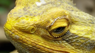 Extreme tight shot of a Yellow Bearded Dragon lizard's head.