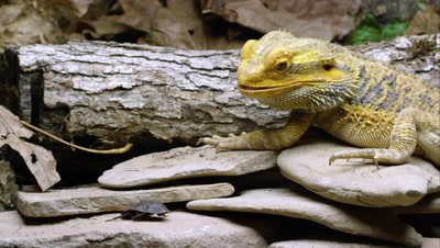 Yellow Bearded Dragon lizard eating a bug.