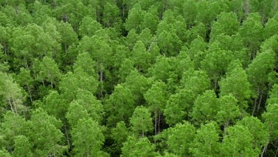Aerial panning view of aspen tree forest.