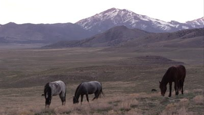 View of wild horses grazing before the sun rises.
