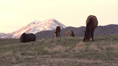 View of wild horses grazing with snow covered mountain in the background.