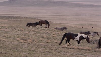Panning view of wild horse herd walking through the landscape.