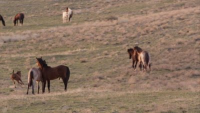 Zoomed view of wild pony running and kicking