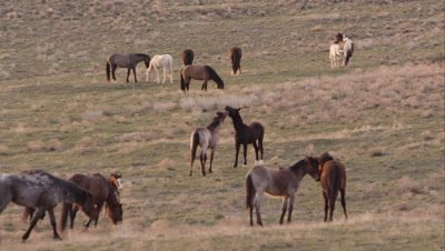 Zoomed view of wild horses running and kicking across the landscape.