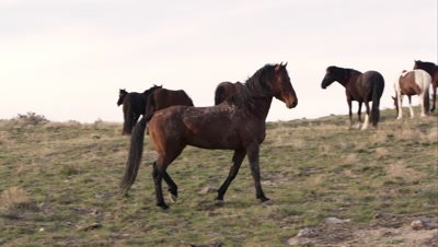 Young wild horse challenges the Alpha male by pointing and kicking up dirt.