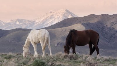 Two horses grazing with rolling hills behind them.