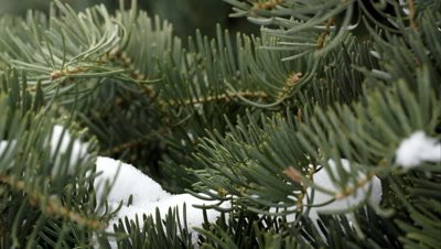Close up view of pine tree as snow falls from above.