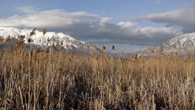 View of snow covered mountains through a field of tamarisk grass.
