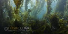 Kelp Forest Scenic With Sunlight