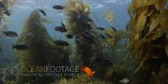 Kelp Forest Scenic With Garibaldi And Blacksmith