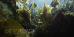 Kelp Forest Scenic-Kelp Sways In Current-Sunlight Glinting