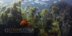 Kelp Forest Scenic-Garibaldi's In Swaying Kelp