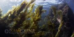 Kelp Forest Scenic-Kelp Swaying In Current