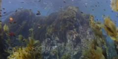 Kelp Forest Full Scenic View With Fish