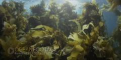 Kelp Swaying In Current- Sun Glinting At Surface