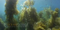 Travel Through Scenic Kelp Forest - Sunlight Glinting