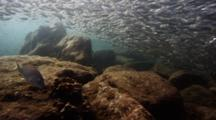 Schooling Herring On A Reef At The Island Of Los Islotes In La Paz, Baja California Sur, Mexico. Bait Balls And Predation On The Sardine Schools