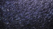 Closeup Of Schooling Pacific Flatiron Herring In The Sea Of Cortez