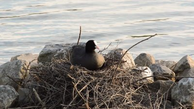 Cute young eurasian coot chick climbing on rocks making its way to the nest