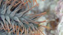 Crown-Of-Thorns Starfish Arm Feeling Around Coral