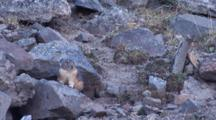 American Pika On The Rock,