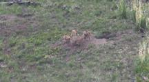 Coyote Puppies Playing,