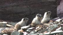 Three Babies Marmot Playing On The Rock,