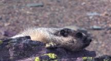 Marmot Resting On A Rock