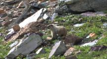 Marmot Eating Grass,