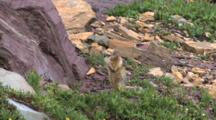 Columbian Ground Squirrel Standing,