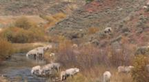 Herd Of Sheep At Water Hole,