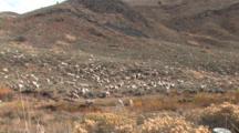 Herd Of Sheep Roaming The Hillside,