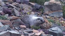 Marmot Eating Plants,