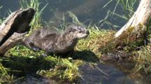 Otter By The River,