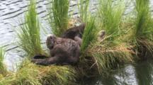 Family Of Otters Playing And Resting,