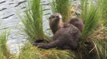 Family Of Otter Playing And Resting,