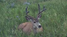 Mule Deer Eating Grass,