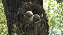Great Horned Owl Chicks In A Heart Shape Tree  Nest