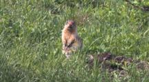Columbian Ground Squirrel Alert And Vocalizing