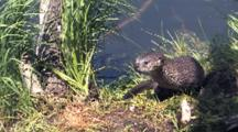 Otter At River's Edge
