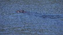 Family Of River Otters Swiming In The River