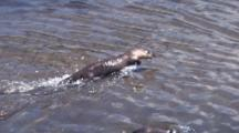 River Otter Swimming Fast And Playing In The River