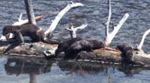 River Otters On Driftwood