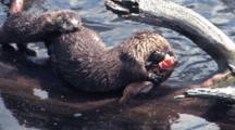 Mother And Baby  River Otter On The Driftwood Eating Fish