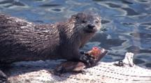 River Otter Feeds On Fish, Keeps It Away From Babies