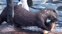 River Otter Eating Fish On Log In Water