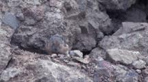 American Pika Hopping On The Rock